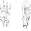 足と手は似てるけど軸が違う!?骨構造から考える