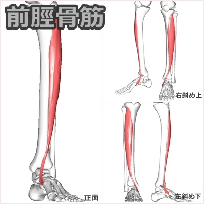 前脛骨筋 ストレッチ に対する画像結果