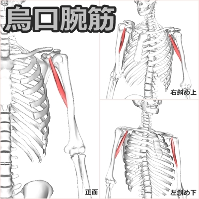烏口腕筋】解剖学、ストレッチ方...