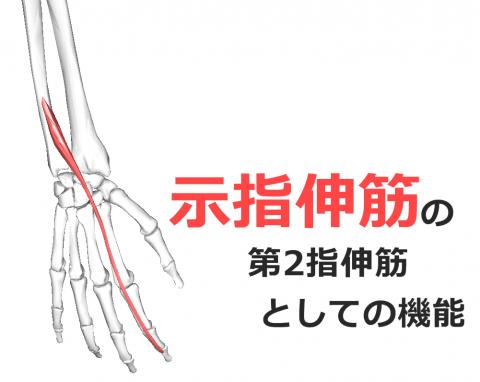 示指伸筋】解剖学、ストレッチ方...