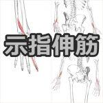 【示指伸筋】解剖学、ストレッチ方法と臨床で役立つ3つとの特徴