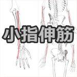 【小指伸筋】解剖学、ストレッチ方法と臨床で役立つ3つの特徴