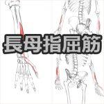 【長母指屈筋】解剖学、ストレッチ方法と臨床で役立つ3つの特徴
