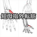 【短母指外転筋】解剖学、ストレッチ方法と臨床で役立つ3つの特徴