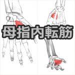 【母指内転筋】解剖学、ストレッチ方法と臨床で役立つ3つの特徴