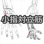 【小指対立筋】解剖学、ストレッチ方法と臨床で役立つ3つの特徴