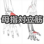 【母指対立筋】解剖学、ストレッチ方法と臨床で役立つ3つの特徴
